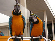 Talking African Greys and Macaws for adoption