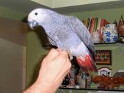 African Gray Parrot with cage