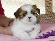 Fun Making Shih Tzu Puppies Ready For Home Adoption