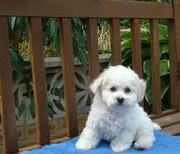 Healthy Bichon Frise Puppies For Immediate Home Adoption