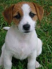 Perfect Jack Rusell Puppies Ready For Home Adoption