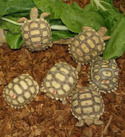 Hand Raised tortoises/turtles ready