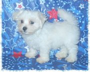 Magnificent Maltese puppies seeking new homes