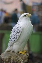 peregrine falcon for sale