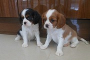 Gorgeous Cavalier King Charles puppies