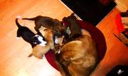 American Staffordshire puppies