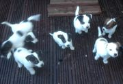 JACKRUSSELL PUPPYS 2 MONTHS OLD READY FOR NEW HOMES