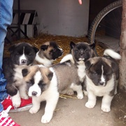 American Akita Full Breed pups for Sale