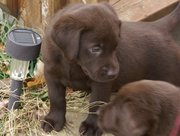 Chocolate Labrador Retriever puppies Ready.