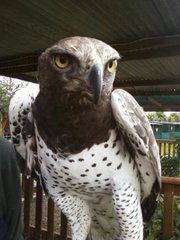 Large Martial Eagle for sale