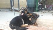 German sheppard pups