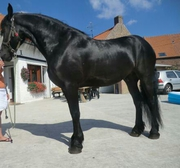 Pedigree  Friesian Gelding for Dressage