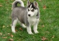 Siberian husky in a need of a forever home