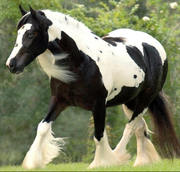 well-trained Healthy Gypsy horses for sale ,