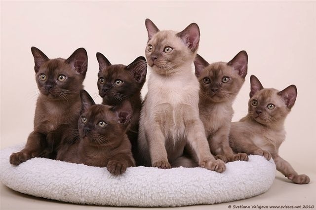 Burmese kittens sale - Cats