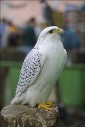 peregrine falcon birds for sale