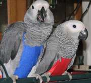 Extra Sweet African Grey Parrots for adoption