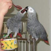 A Pair Of Tamed African Grey Parrots For Adoption
