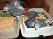 Very intelligent,  Exceptional  African Grey Parrots and Eggs For Sale