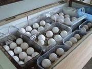 Fertile parrot eggs, baby parrots, incubators for sale