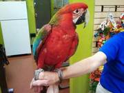 Calico Macaw parrot available